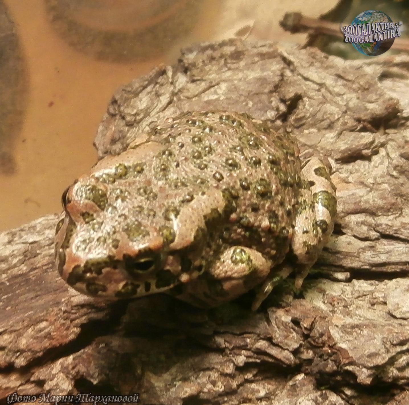 Зелёная жаба Pseudepidalea viridis | Описания и фото ... Жаба Зеленая