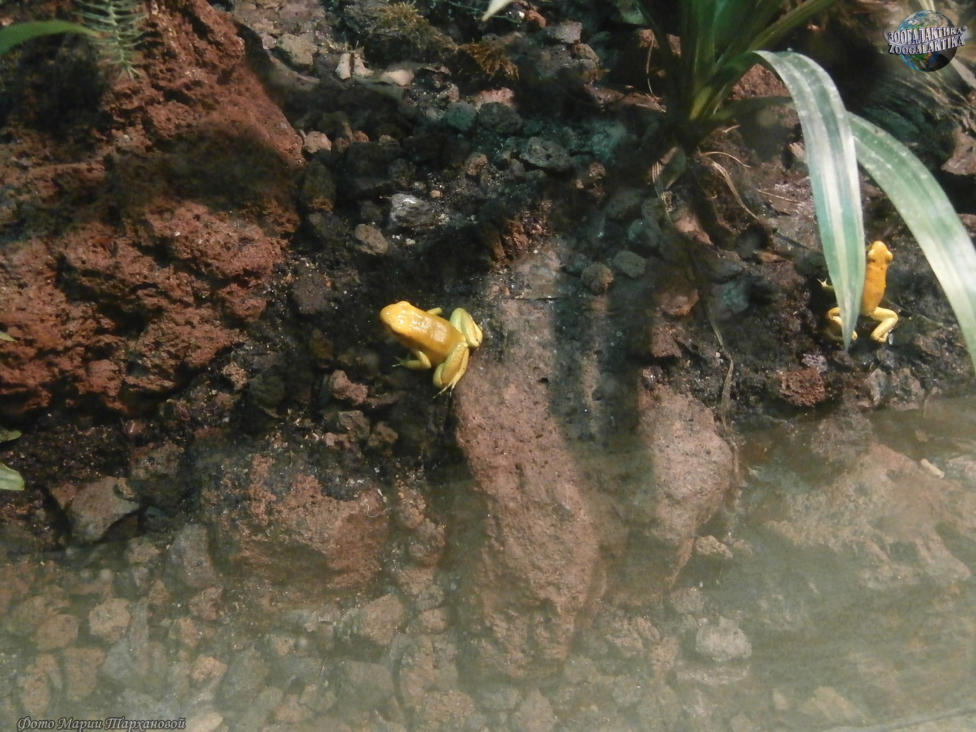 Золотая мантелла фото 2