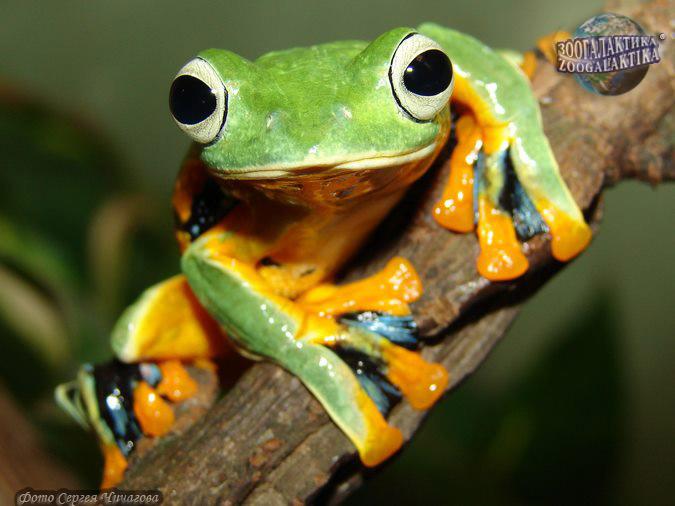 Анальное лягушек