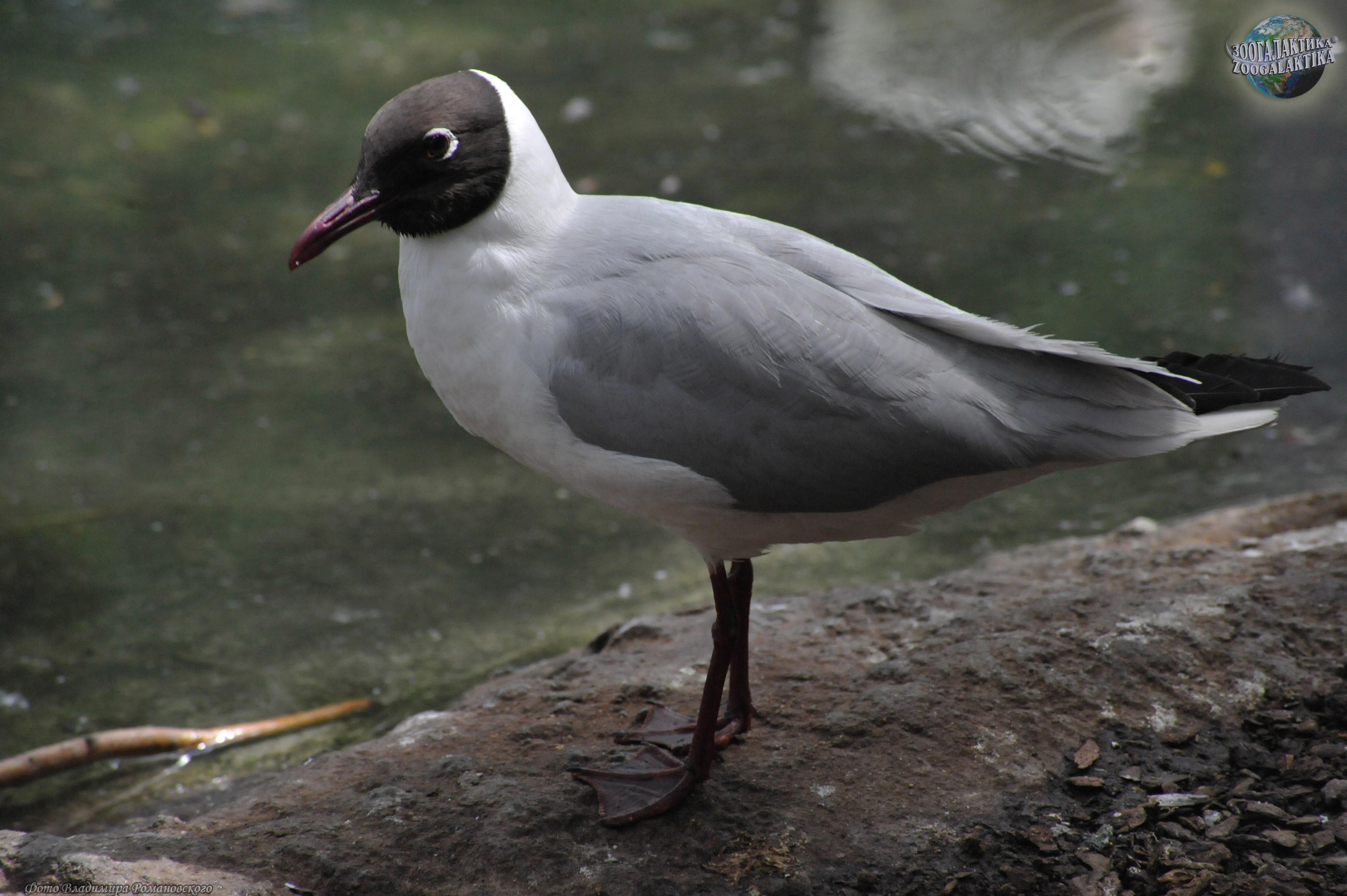 фото озерная чайка