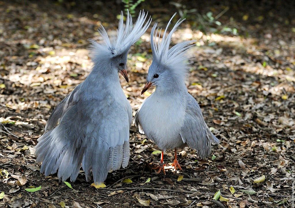 http://zoogalaktika.ru/assets/images/aves/gruiformes/eurypygiformes/rhynochetos-jubatus/rhynochetos-jubatus_12.jpg