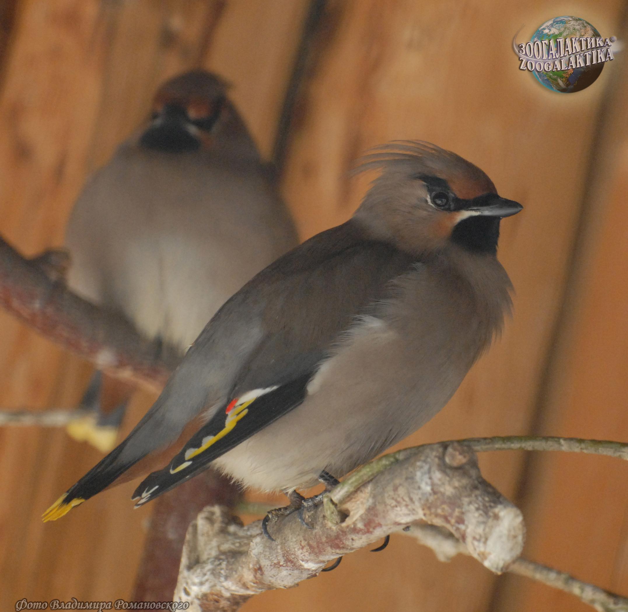 птица похожая на свиристель фото
