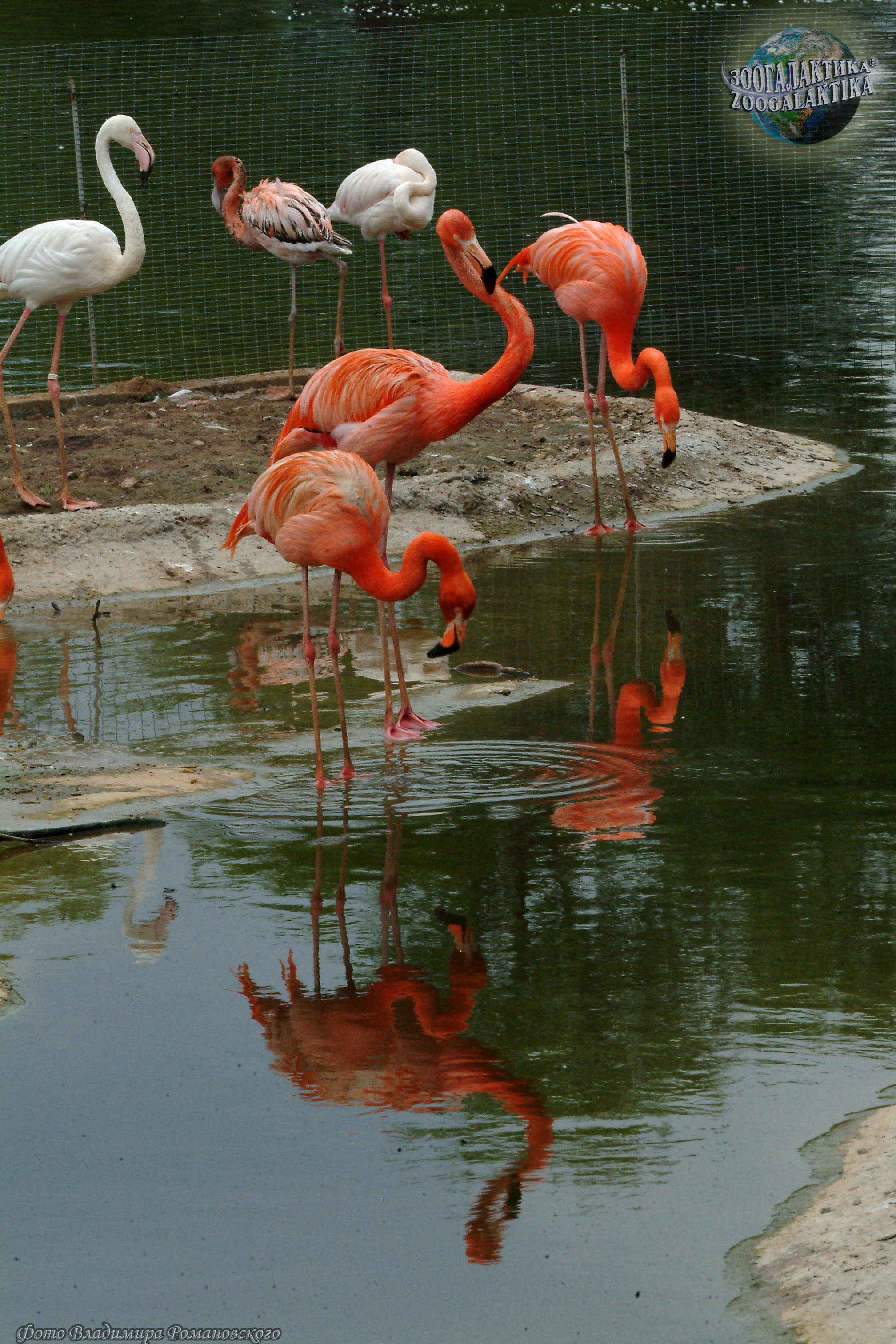 фото рыбы фламинго