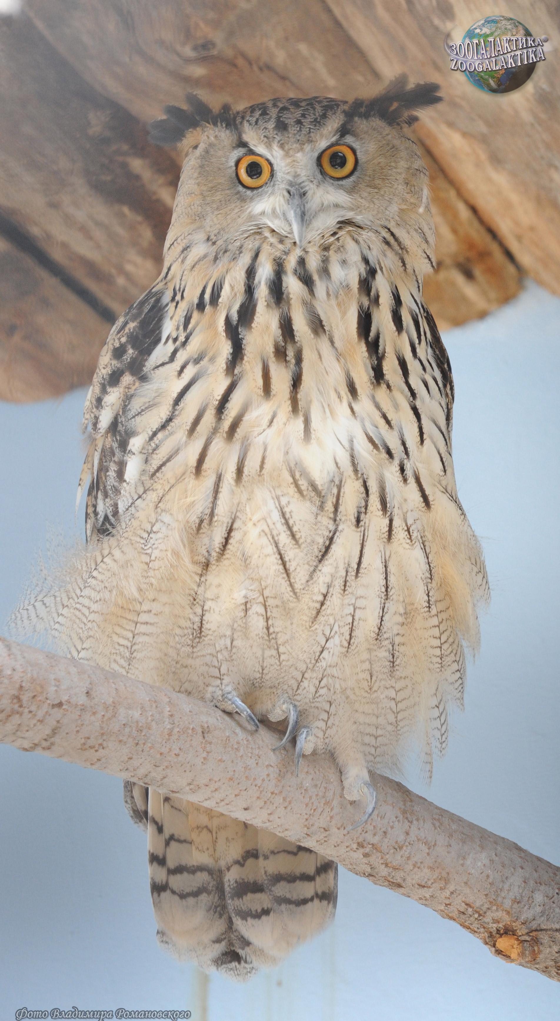 Обои сова, Пустынный филин. Животные foto 16