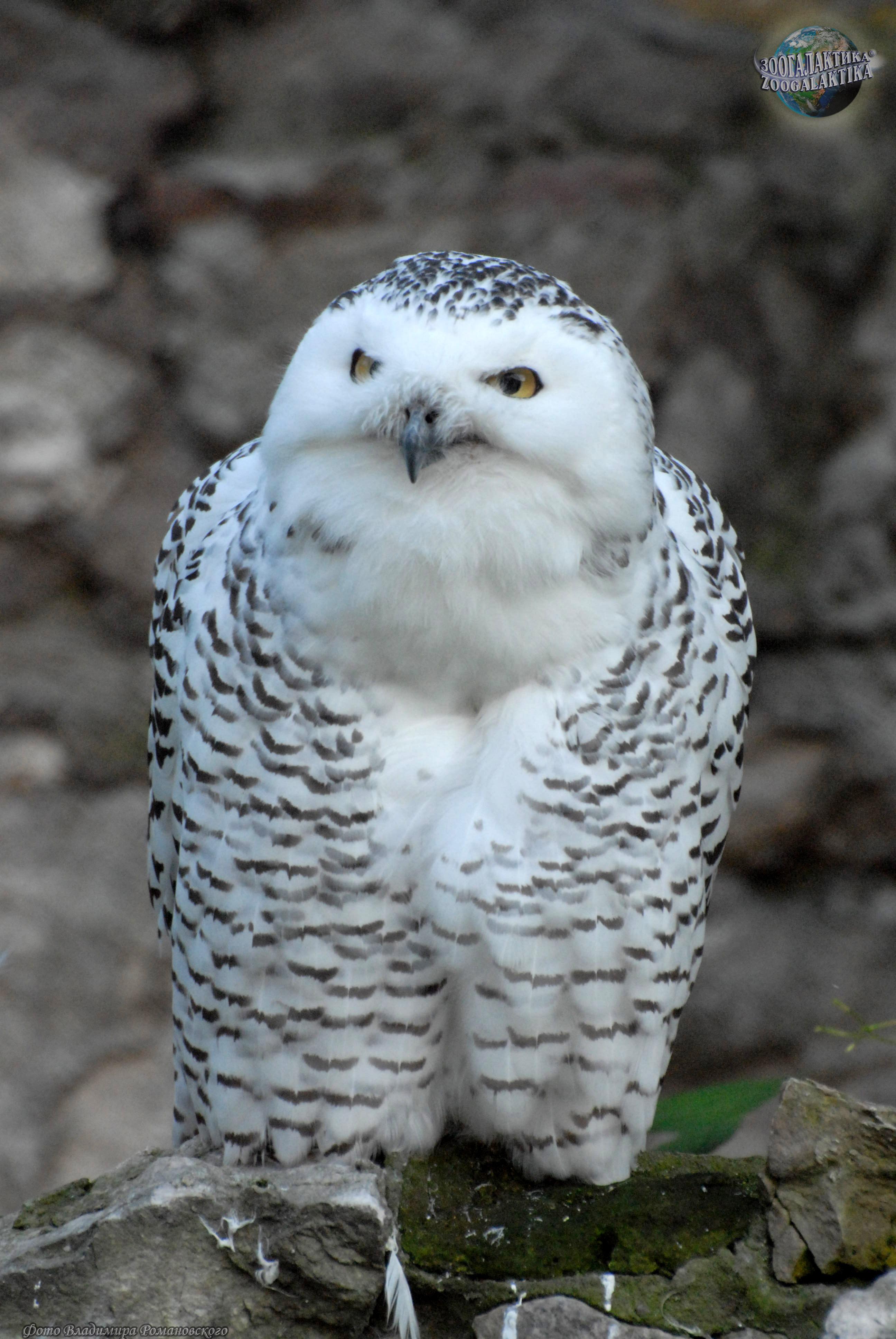 Полярная сова и описание для детей 89