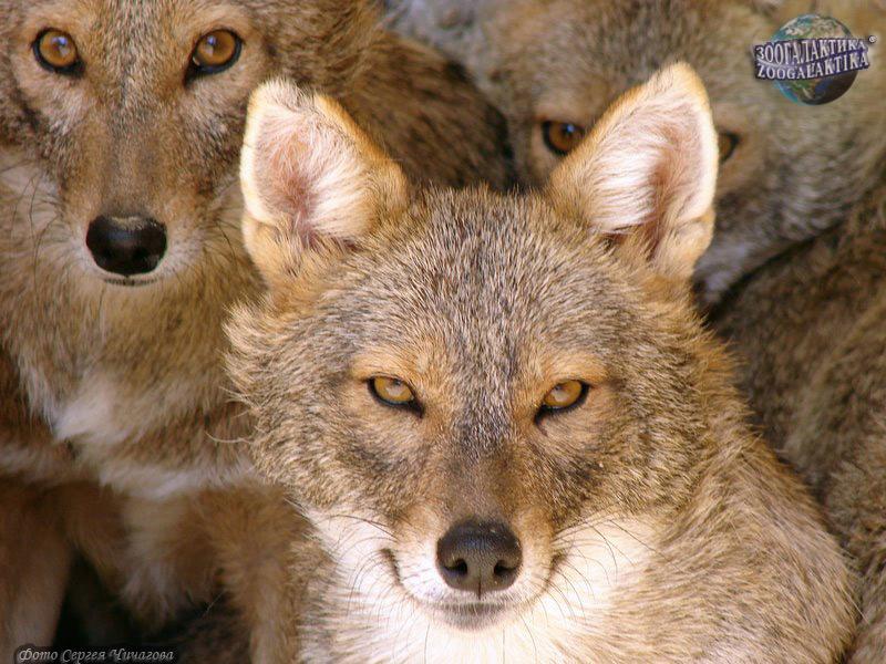 Шакалы  хищные  млекопитающие  жизнь-животных