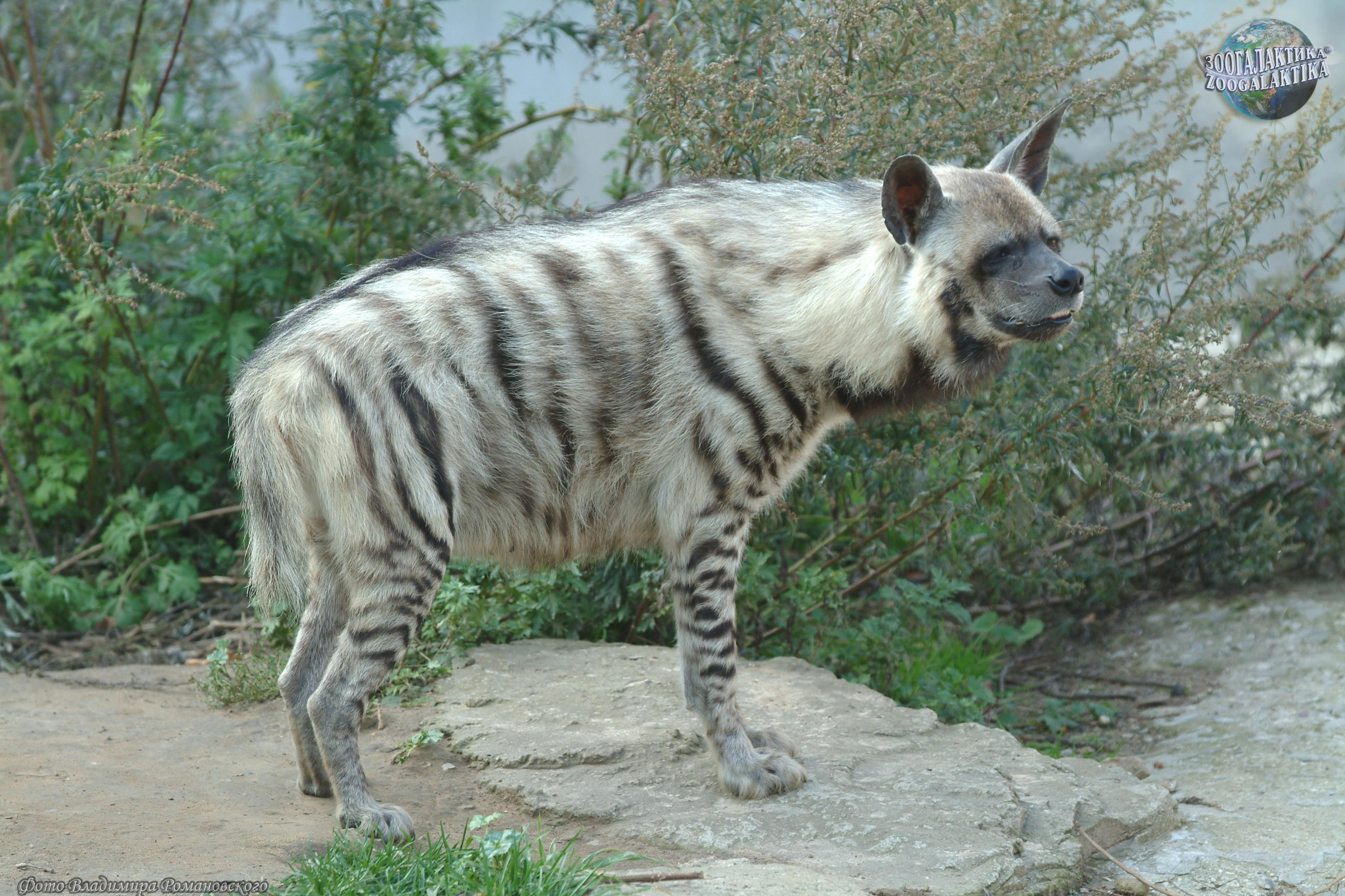 фото полосатая гиена