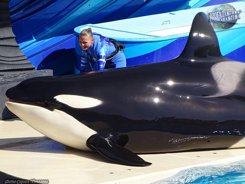 Косатка Orcinus orca   Описания и фото животных   Некоммерческий ... 1587a3b26ec