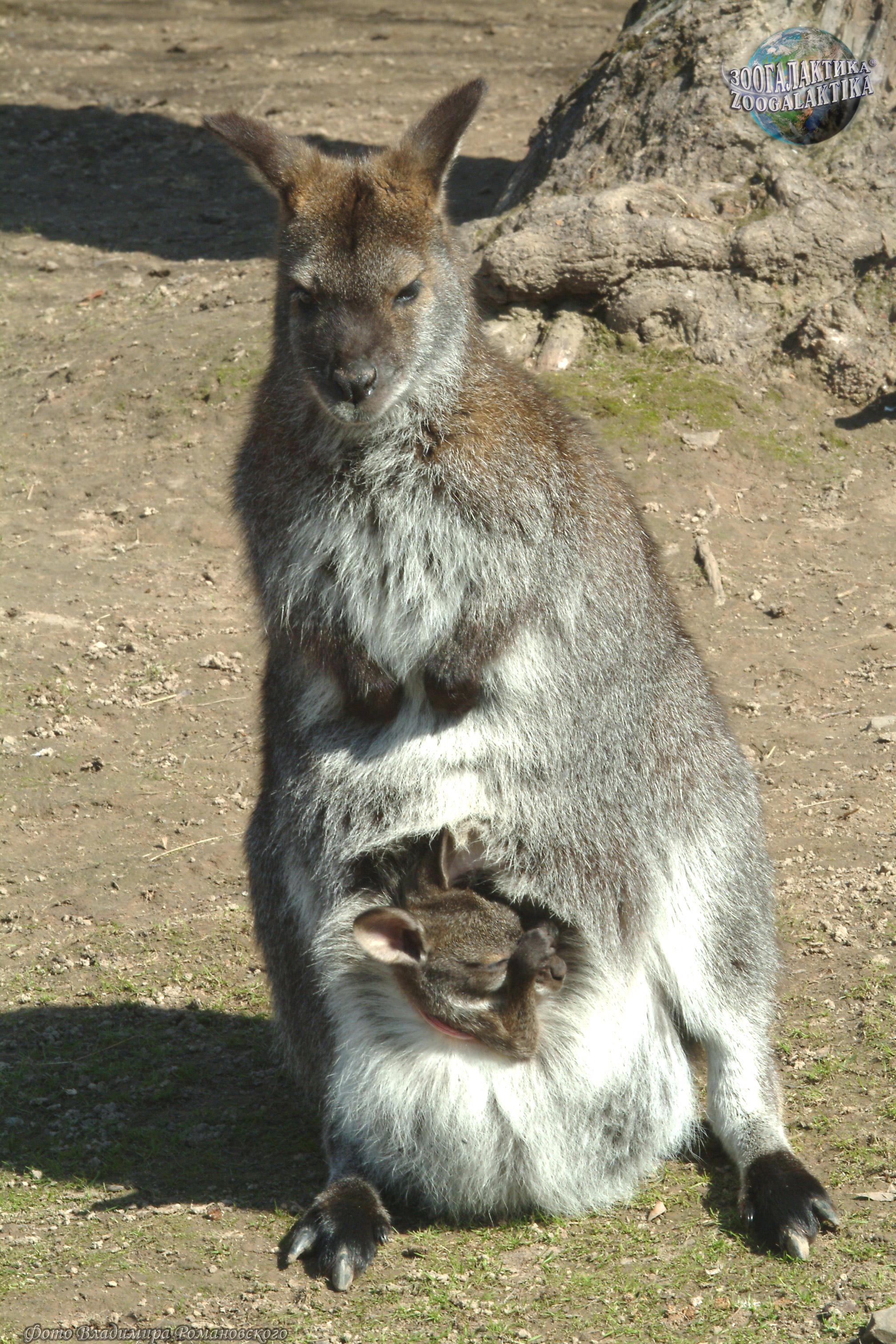 Фото Большой рыжий кенгуру 44851e30ebf35