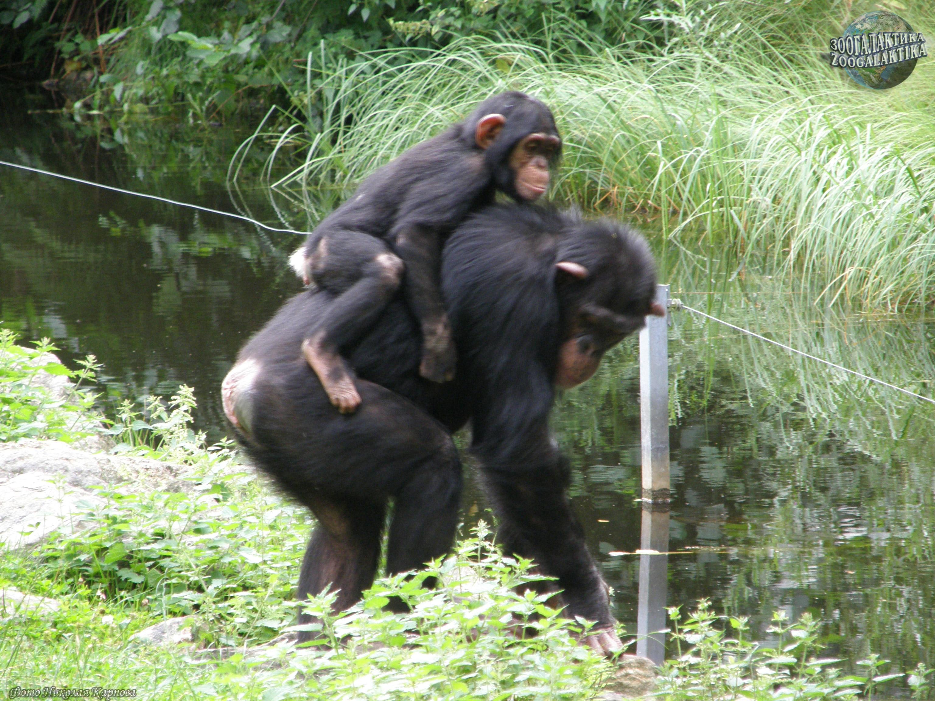 Сексуальное поведение приматов смотреть