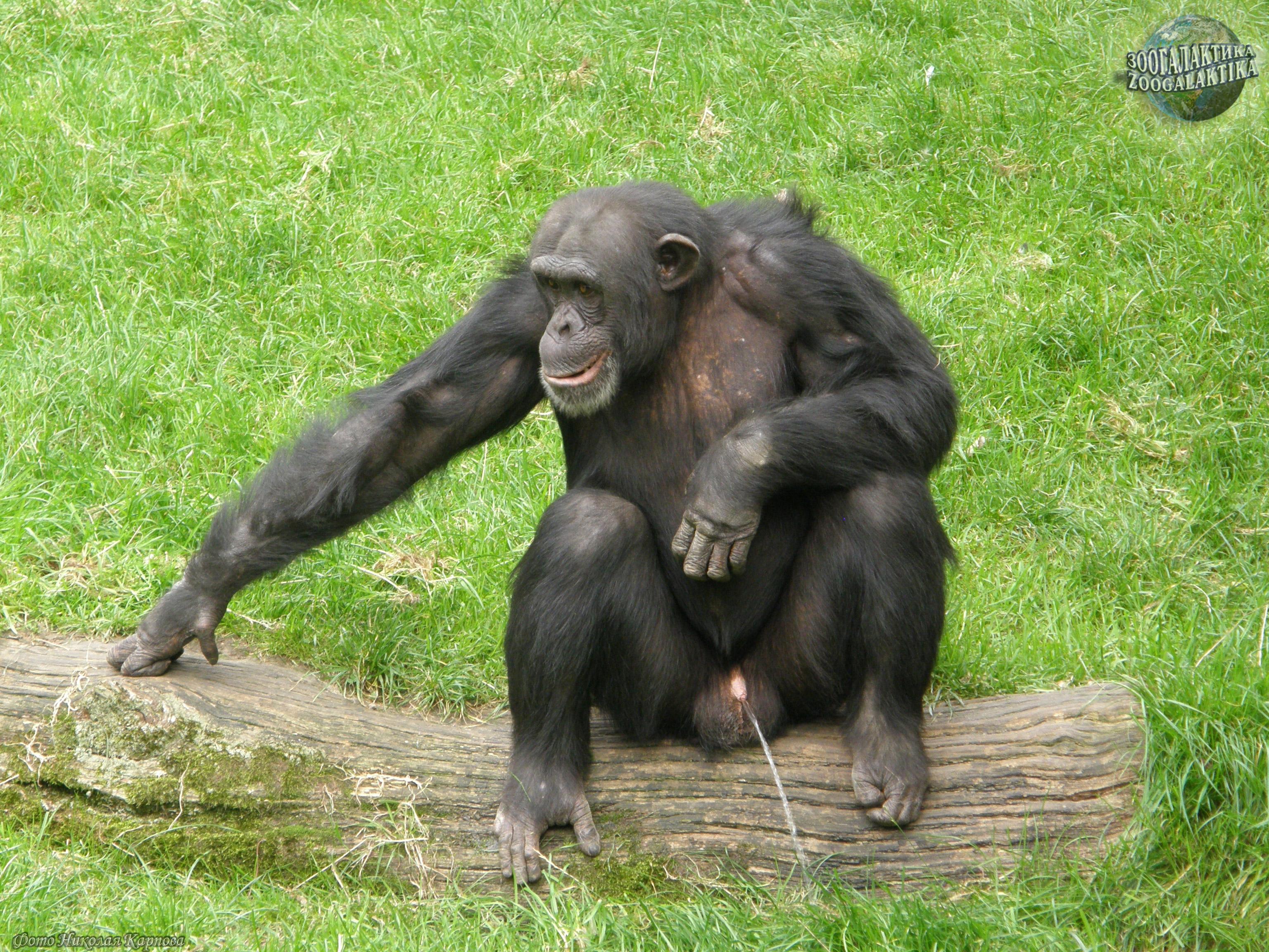 Фото пениса гориллы