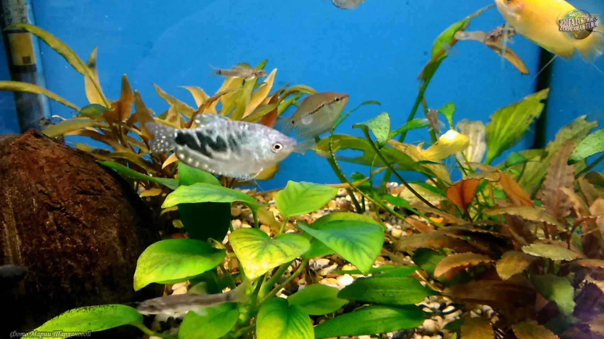 Что это такое аквариумная рыбка меняет цвет