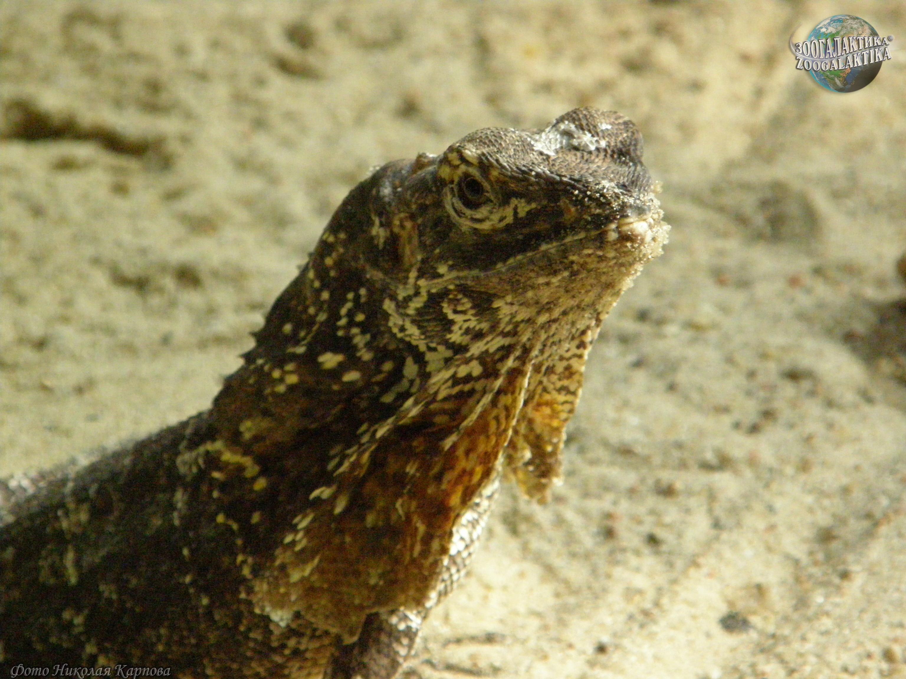 фото ящерица плащеносная